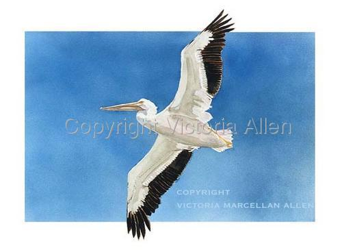 FLYING WHITE PELICAN (large view)