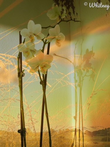 Digital Photography - Yellow Orchid