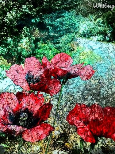 Poppies on Sauvie Island