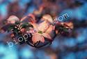 Pink Dogwood ( Cornus florida var. rubra