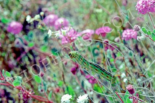 Hornworm on Verbena