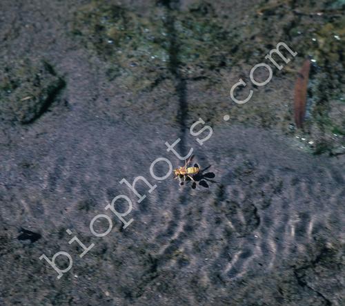 Floating Wasp (Euodynerus annulatum)