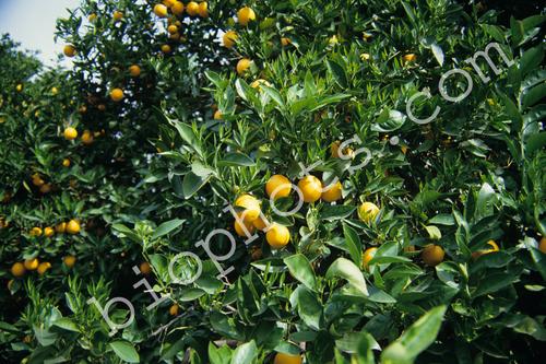 Orange Trees with Oranges
