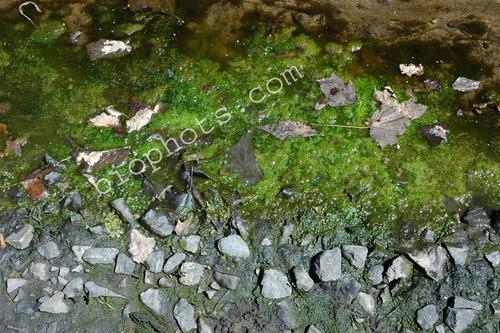 Pond Scum Algae