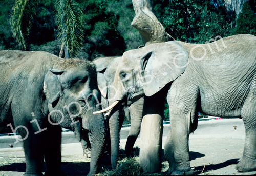 Elephants - Asiatic and African