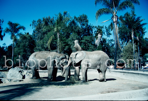 Elephants Indian and African