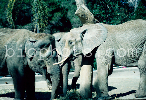 Elephants Asian and African