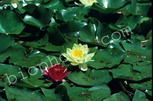 Red and Yellow Water Lily Plants