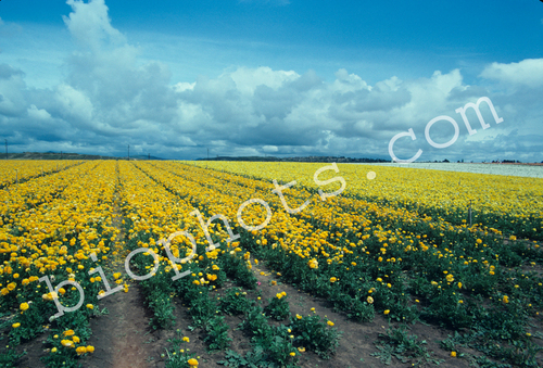 Yellow Rununculus Seed Beds