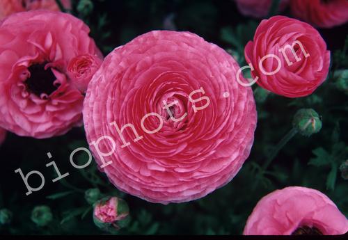 Pink Rununculus Flowers