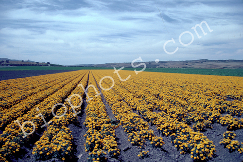 Marigolds Seed Beds, Lompoc, CA
