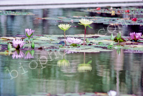 Multi-Colored Water Lilies