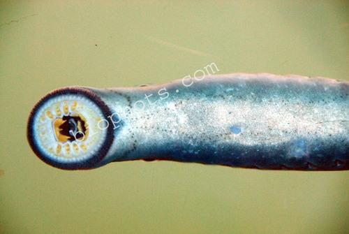 Mouth parts Lamprey eel