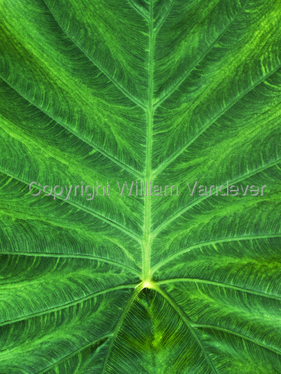 Leaf Detail (large view)