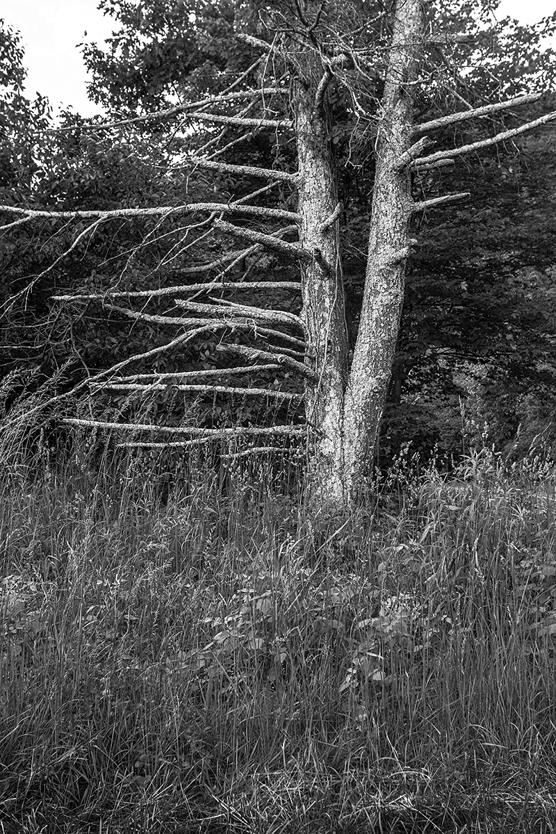 Dead Tree - Skyline Drive (large view)
