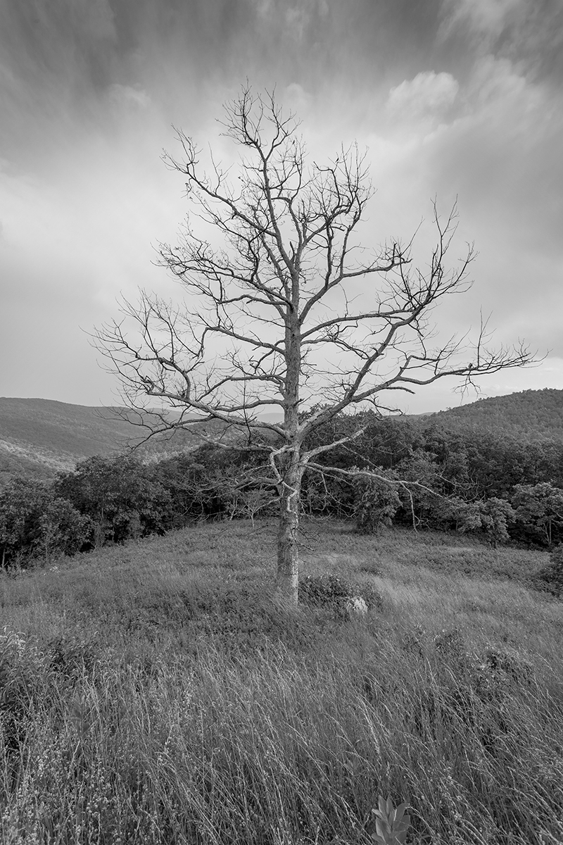 Tree and Meadow 2 - Skyline Drive (large view)