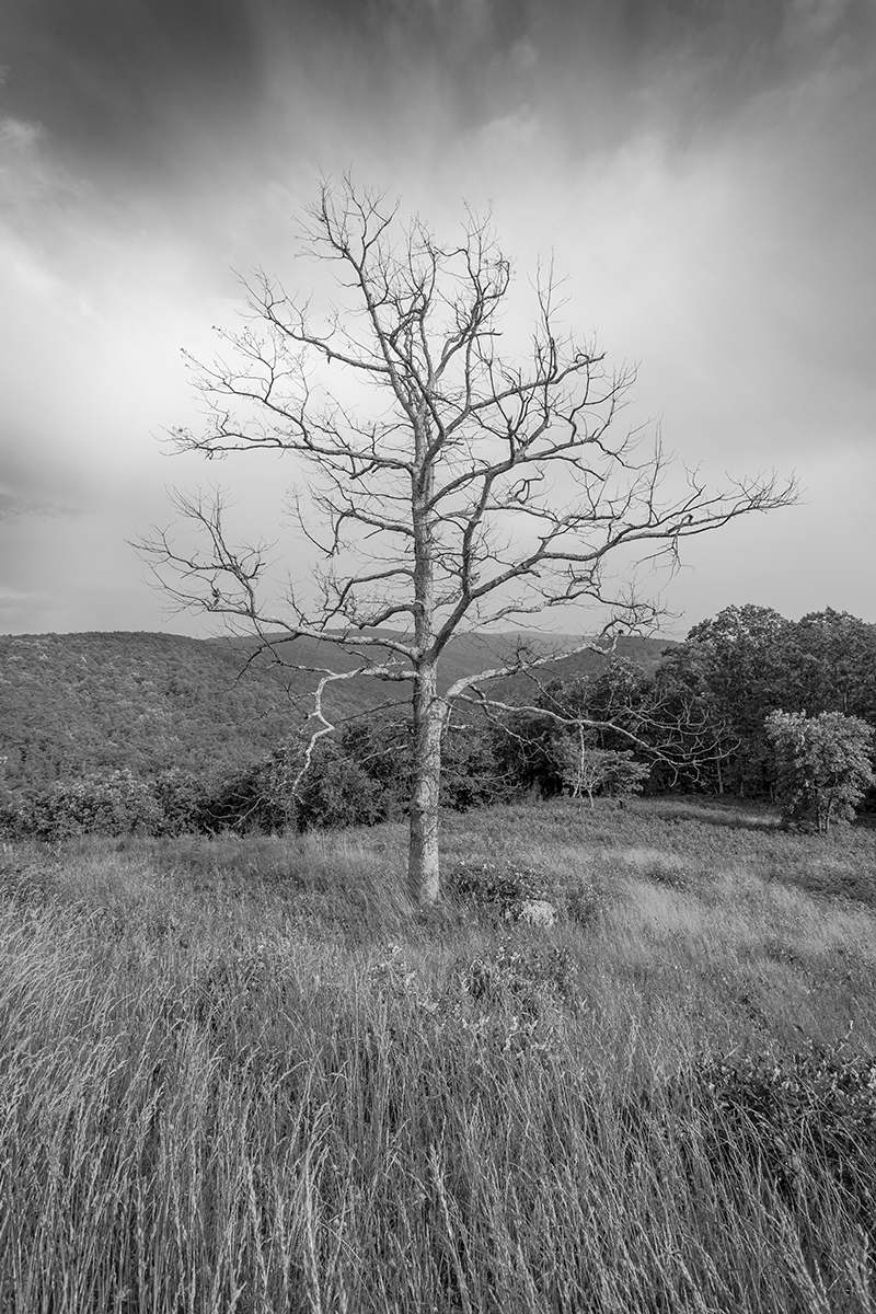 Tree and Meadow 3 - Skyline Drive (large view)