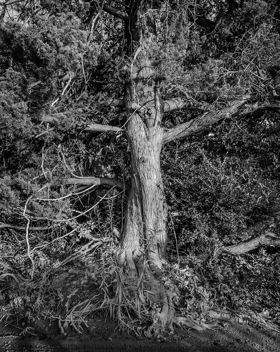 Tree on Ocracoke #2 by William Vandever (large view)