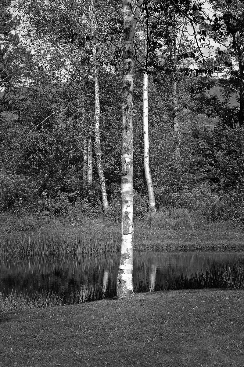 White Birch / Mountain Top  #2 (large view)