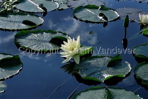 Water Lily 7 (large view)