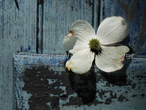 Flower on Blue Door (large view)