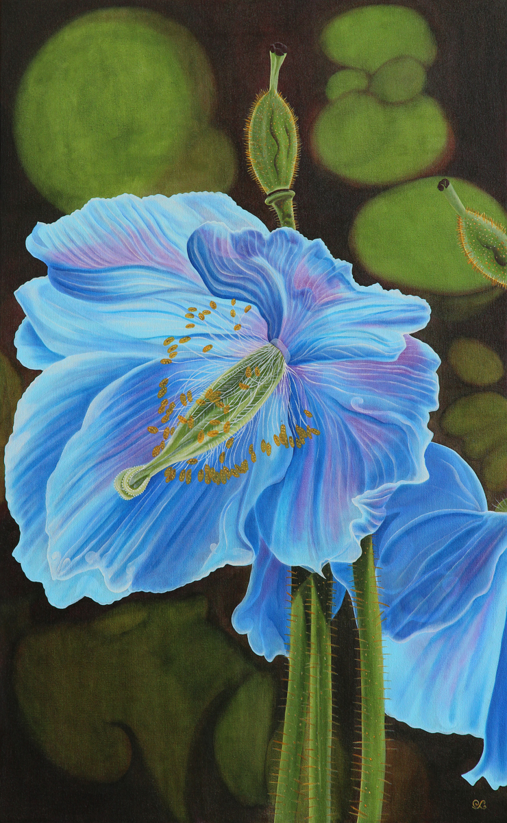 Meconopsis (large view)