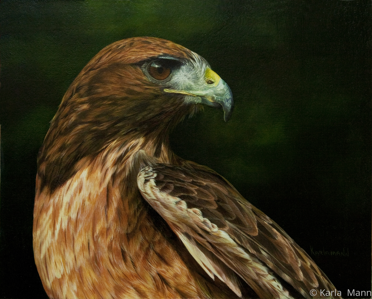 Red Tail Hawk (large view)