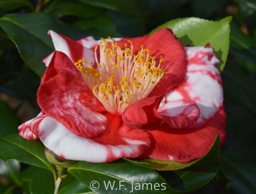 CAMELLIA ON SIDE by W.F. James Studio