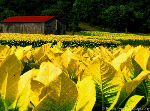 Kentucky Gold by Ralph Tyree Photography